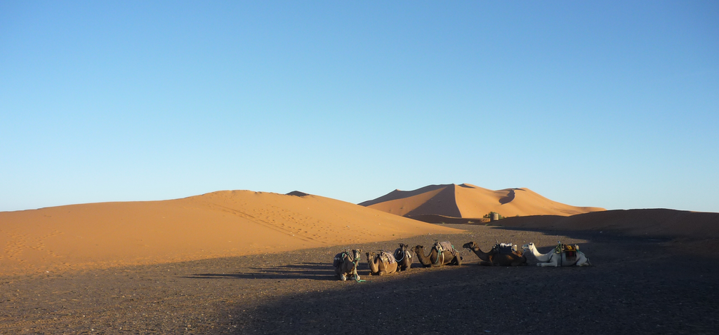 the camels were waiting for us
