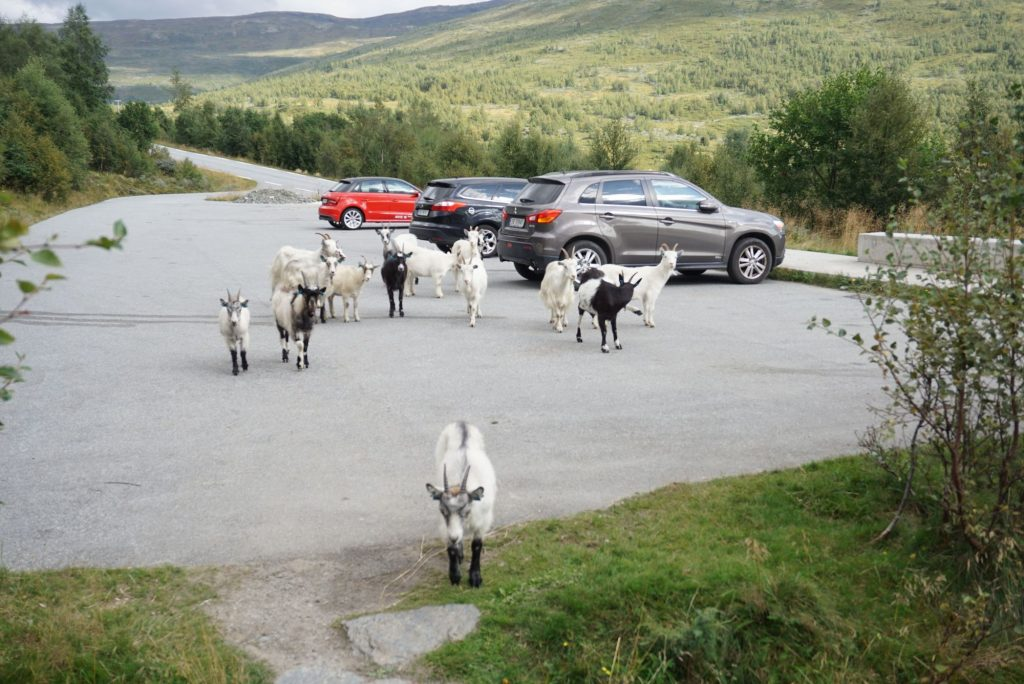 goat gang