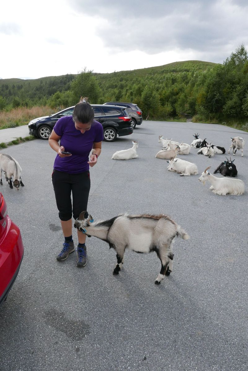 Second goat attack